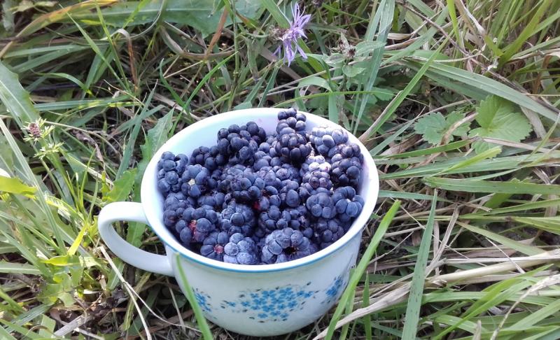Ostružina černicová a jej chutné plody (Rubus fruticosus)