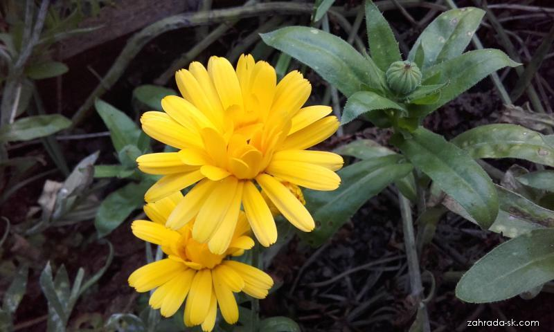 Nechtík lekársky - rastlina v jesennom aspekte (Calendula Officinalis L)