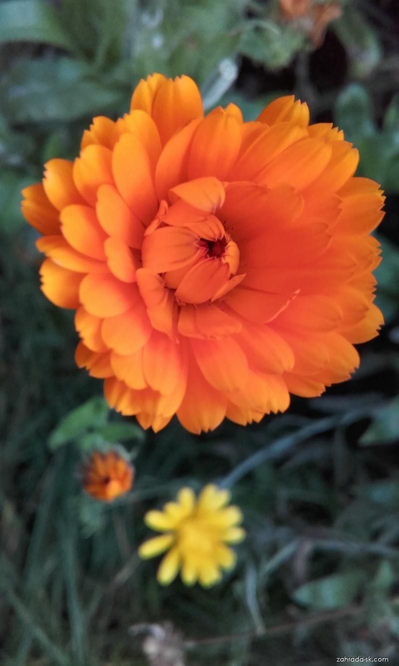 Nechtík lekársky - rastlina v jesennom aspekte (Calendula officinalis)