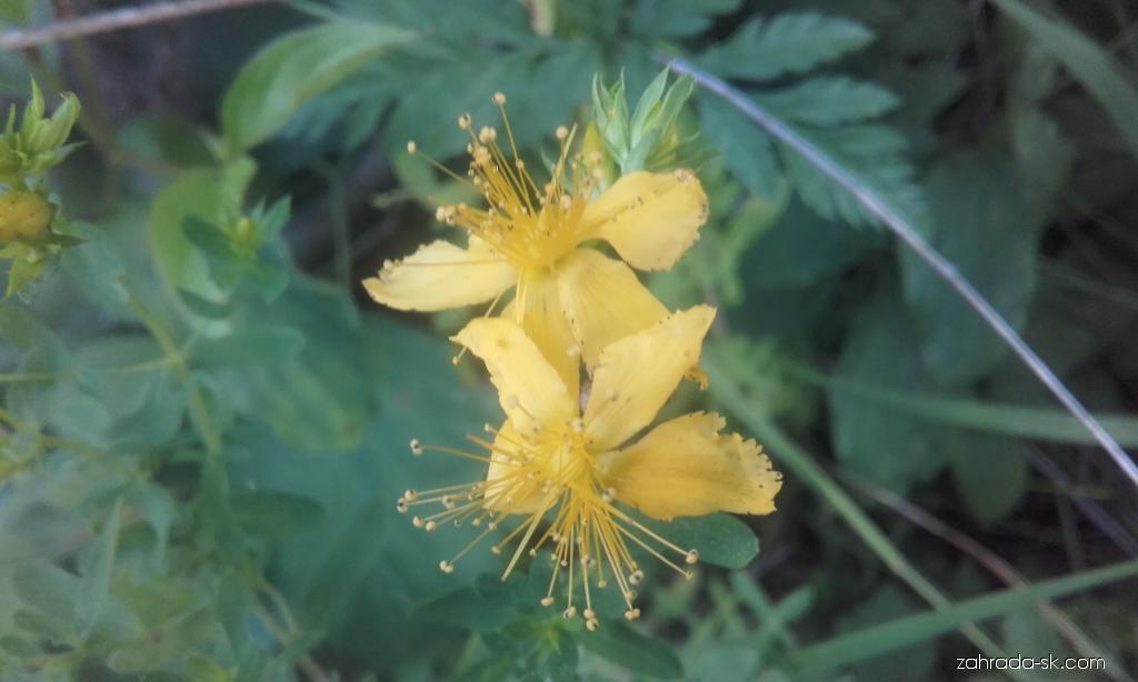Ľubovník bodkovaný (Hypericum perforatum)
