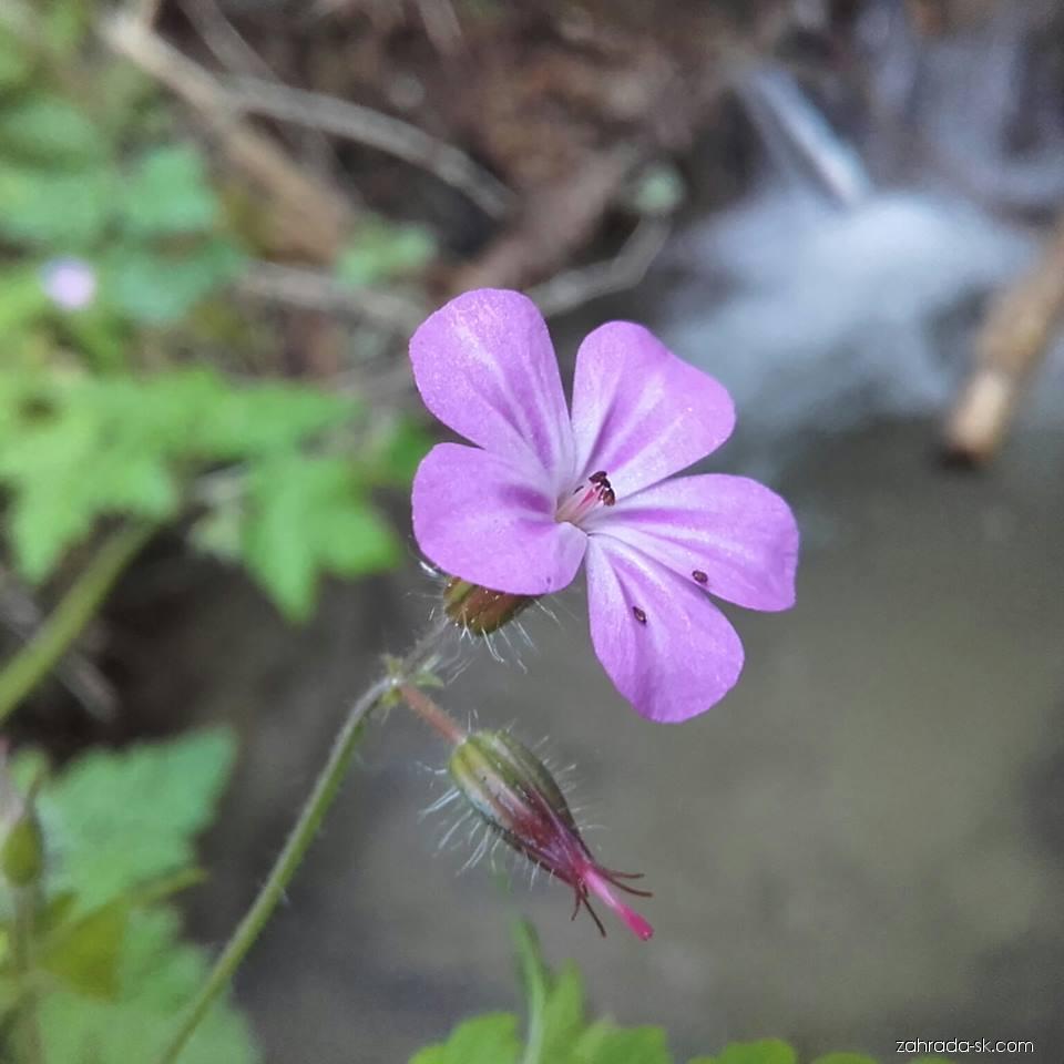 Pakost smradľavý (Geranium robertianum)
