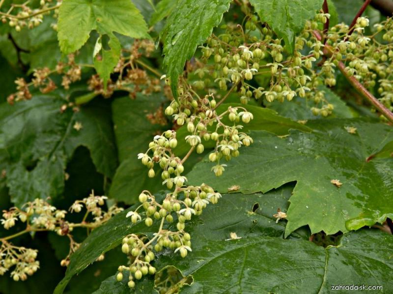 Chmel otáčivý samčí rostlina (Hummulus lupulus)