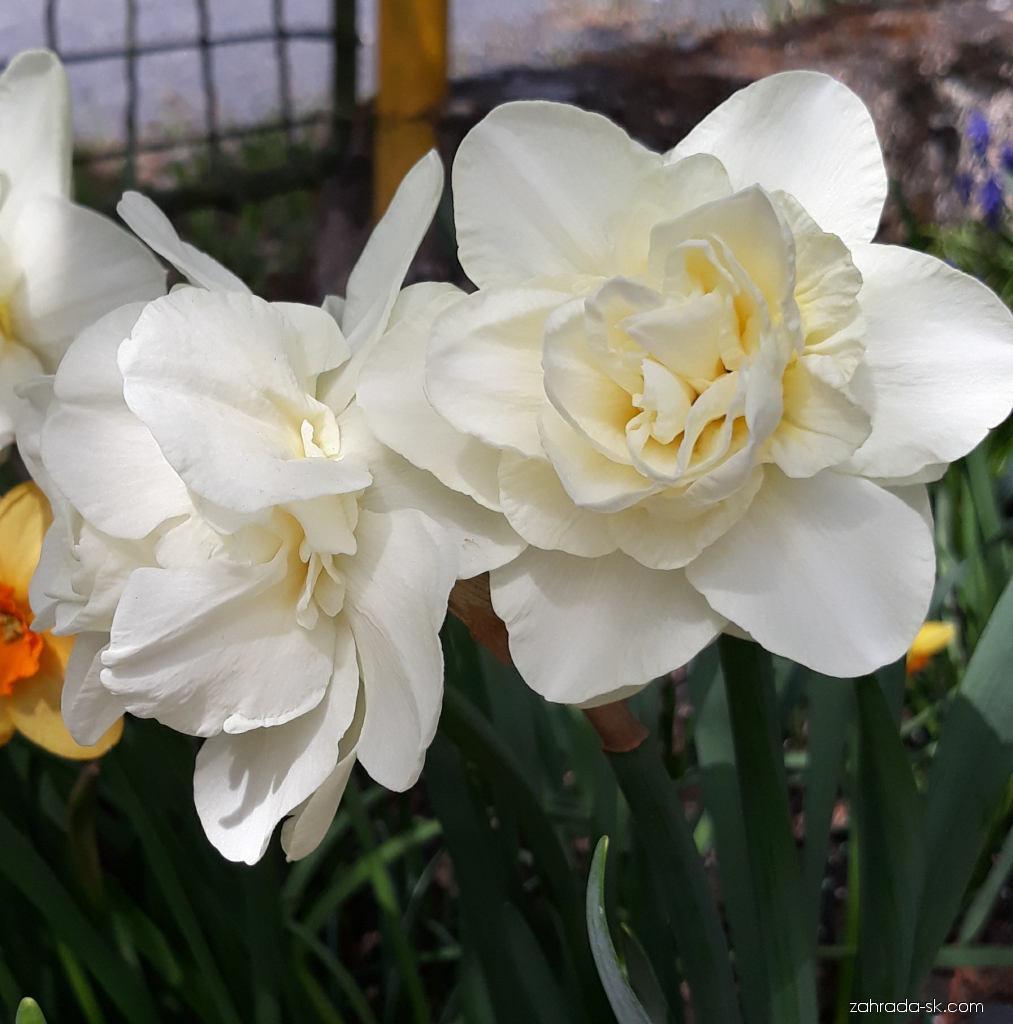 Narcis - Narcissus Calgary