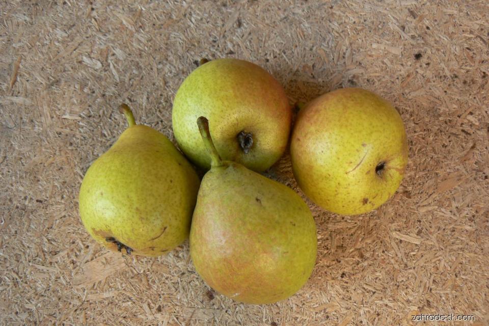 Hrušeň Medovka - plody (Pyrus communis)