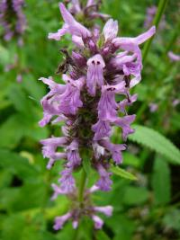 Betonica officinalis