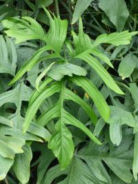 Filodendron - list (Philodendron pedatum)