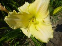 Denivka 'Little Infant' (Hemerocallis)