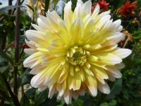 Jiřina 'Peaches and Cream' - květ (Dahlia hybridus)