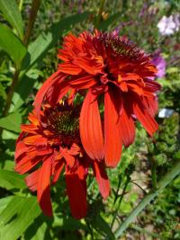 Třapatkovka 'Hot Papaya' - květ (Echinacea purpurea)