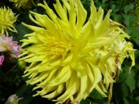 Dahlia 'Windhaven Highlight'  georgína kvety
