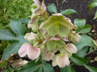 Helleborus x sternii  'Boughton Beauty' - čemerica