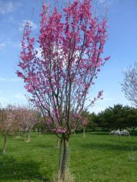 Prunus serrulata  'Captain Collingwood Ingram' - čerešna pílkatá