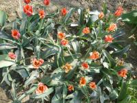 Tulipa greigii  'Orange Elite' - tulipán Greigov