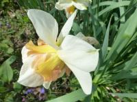 Narcissus    'Replete'  narcis kvety