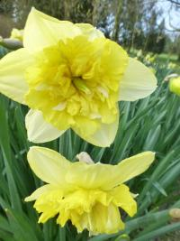 Narcissus    'Full House'  narcis kvety