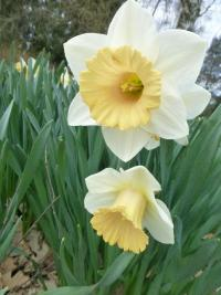 Narcissus    'Musca'  narcis kvety