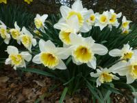 Narcissus 'Orange Ice Folies'  narcis rastlina
