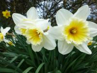 Narcissus  'Orange Ice Folies'  narcis kvety