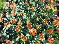 Tulipa  'Hollywood' - tulipán
