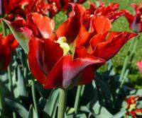 Tulipa  'Green Valley'  tulipán kvety