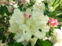 Rhododendron     'Ehrengold'  rododendron kvety