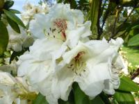 Rhododendron  'Harvest Moon'  rododendron kvety