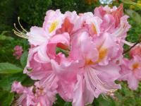 Rhododendron    'Raimunde'  rododendron kvety