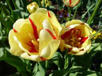 Tulipa  'World Expression'  tulipán rastlina