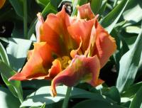 Tulipa  'Tricolored Beauty' - tulipán