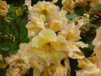 Rhododendron     'Mirabella'  rododendron kvety