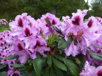 Rhododendron    'Kabarett'  rododendron kvety