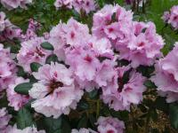 Rhododendron     'Diadem'  rododendron kvety