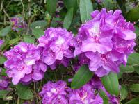 Rhododendron    'Mrs Davies Evans'  rododendron kvety