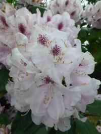 Rhododendron    'Priska'  rododendron kvety