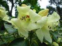 Rhododendron     'Goldika'  rododendron kvety