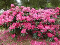 Rhododendron  'Berliner Liebe' - rododendron