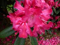 Rhododendron   'Berliner Liebe'  rododendron kvety