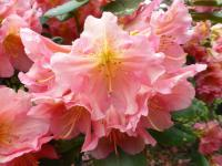 Rhododendron  'Dolcemente'  rododendron kvety