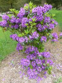 Rhododendron 'Blue Boy'  rododendron rastlina