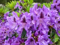 Rhododendron    'Blue Boy'  rododendron kvety