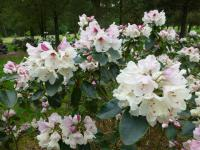 Rhododendron     'Ann Soli'  rododendron kvety