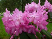 Rhododendron   'Prinses Marijke'  rododendron kvety