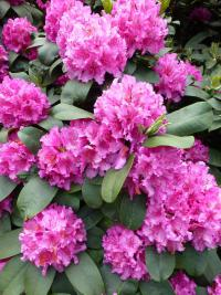 Rhododendron    'Dr. H. C. Alexander Steffen'  rododendron kvety
