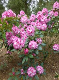 Rhododendron  'Hachmanns Charmant' - rododendron