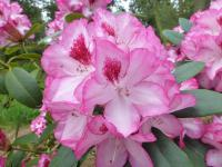 Rhododendron  'Hachmanns Charmant'  rododendron kvety