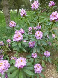 Rhododendron  'Ricarda' - rododendron