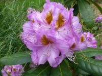 Rhododendron  'Ricarda'  rododendron kvety