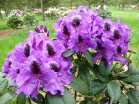 Rhododendron     'Peter Alan'  rododendron kvety