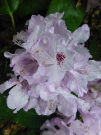 Rhododendron  'Arno'  rododendron kvety