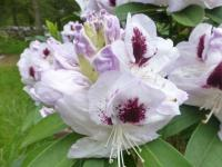 Rhododendron  'Marsala'  rododendron kvety